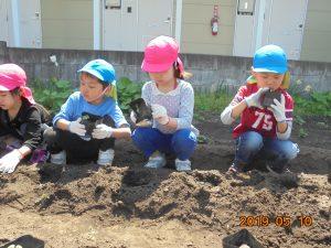 全園児で畑に苗植えをし、土を落さないように真剣に行っていました。今は葉がなり、収穫がとっても楽しみになりました。